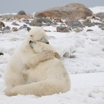 Polar-Bears-Hugging